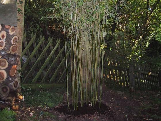 wie macht man ableger von bambus allgemeines rund um bambus herzlich willkommen im forum der. Black Bedroom Furniture Sets. Home Design Ideas